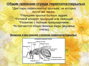 Общие признаки отряда перепончатокрылых *Две пары перепончатых крыльев, на ко