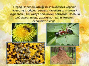 Отряд Перепончатокрылые включает хорошо известных общественных насекомых — пч