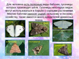 Для человека есть полезные виды бабочек, гусеницы которых производят шёлк. Гу