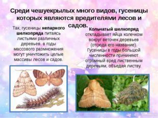 Среди чешуекрылых много видов, гусеницы которых являются вредителями лесов и