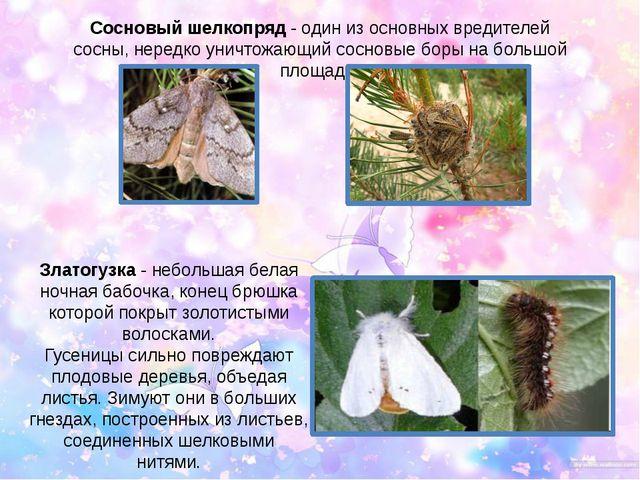 Сосновый шелкопряд - один из основных вредителей сосны, нередко уничтожающий...