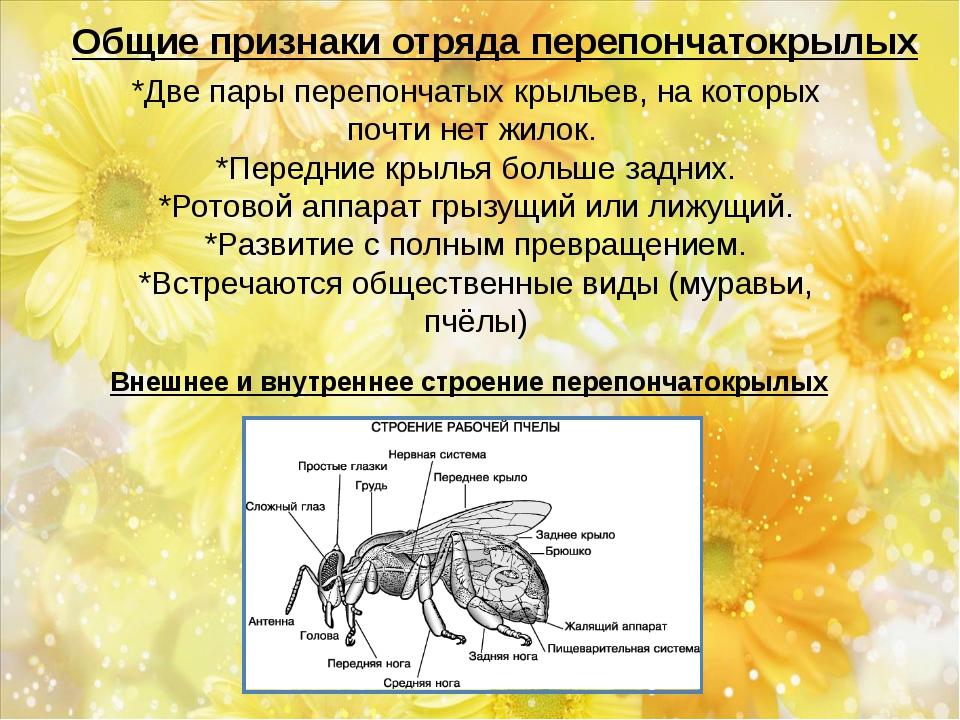 Общие признаки отряда перепончатокрылых *Две пары перепончатых крыльев, на ко...