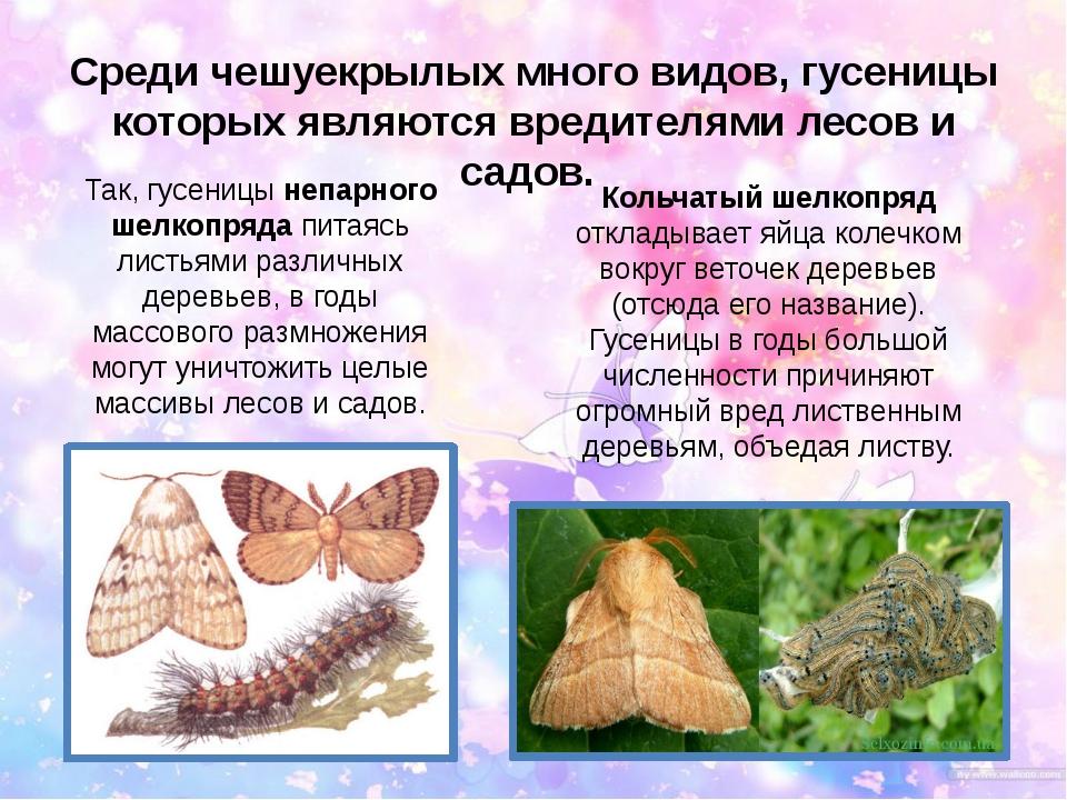 Среди чешуекрылых много видов, гусеницы которых являются вредителями лесов и...