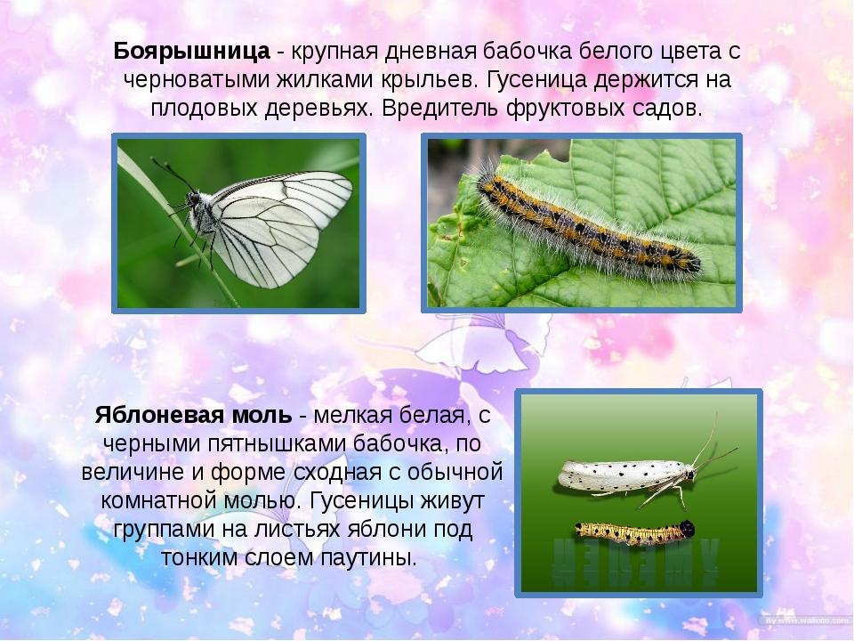 Боярышница - крупная дневная бабочка белого цвета с черноватыми жилками крыль...