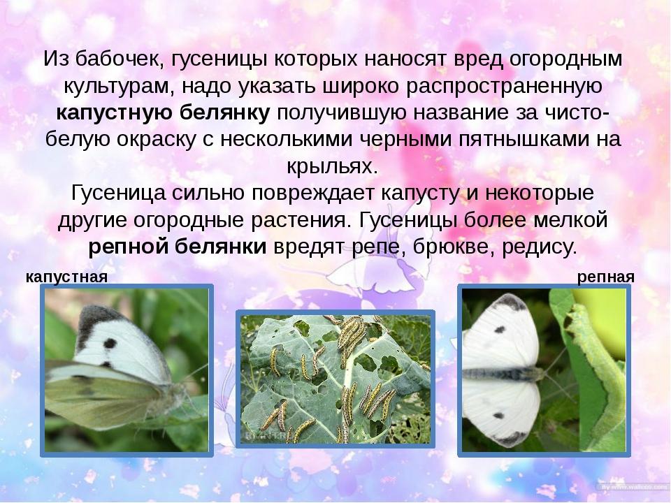 Из бабочек, гусеницы которых наносят вред огородным культурам, надо указать ш...