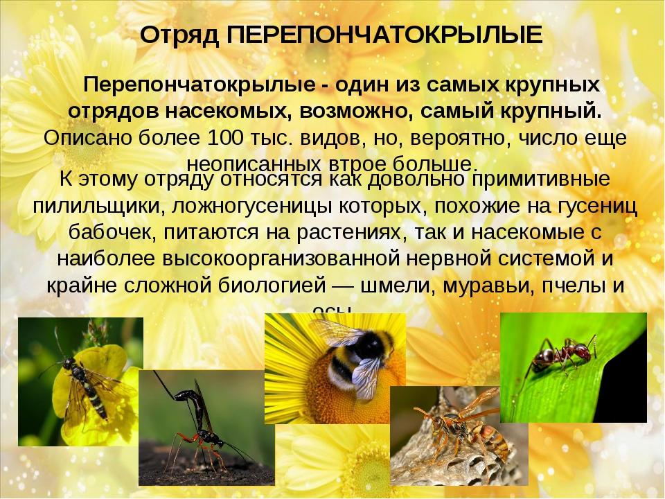 Отряд ПЕРЕПОНЧАТОКРЫЛЫЕ Перепончатокрылые - один из самых крупных отрядов н...