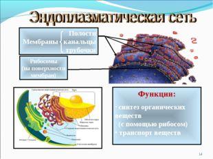 * Полости Мембраны канальцы трубочки Рибосомы (на поверхности мембран) Функци