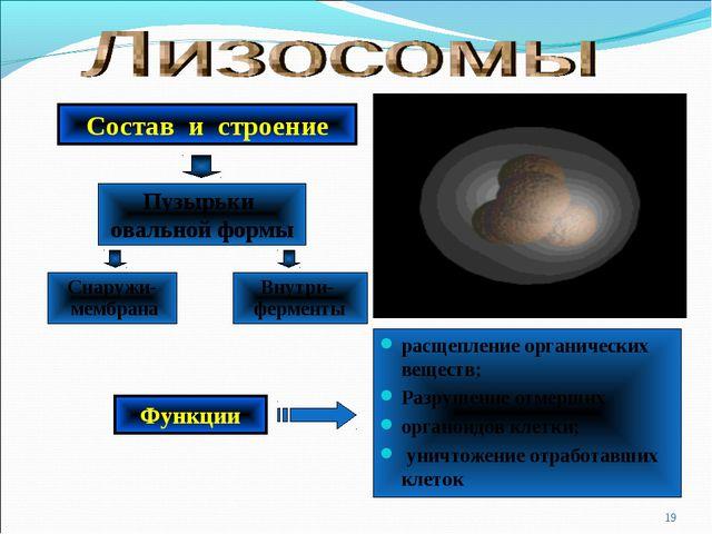 расщепление органических веществ; Разрушение отмерших органоидов клетки; унич...