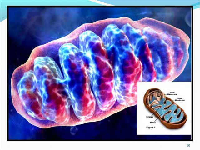* 1.- внутренняя мембрана образующая складки - кристы. 2.- внешняя мембрана;...