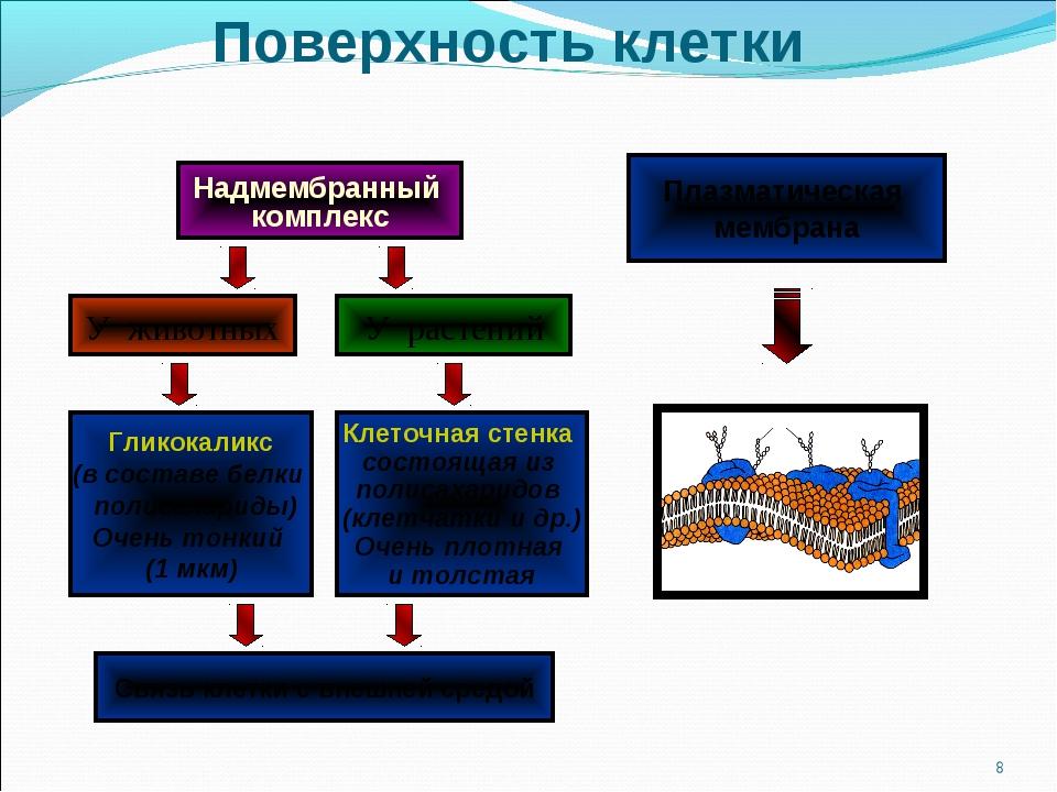 Поверхность клетки * Надмембранный комплекс У животных У растений Клеточная с...
