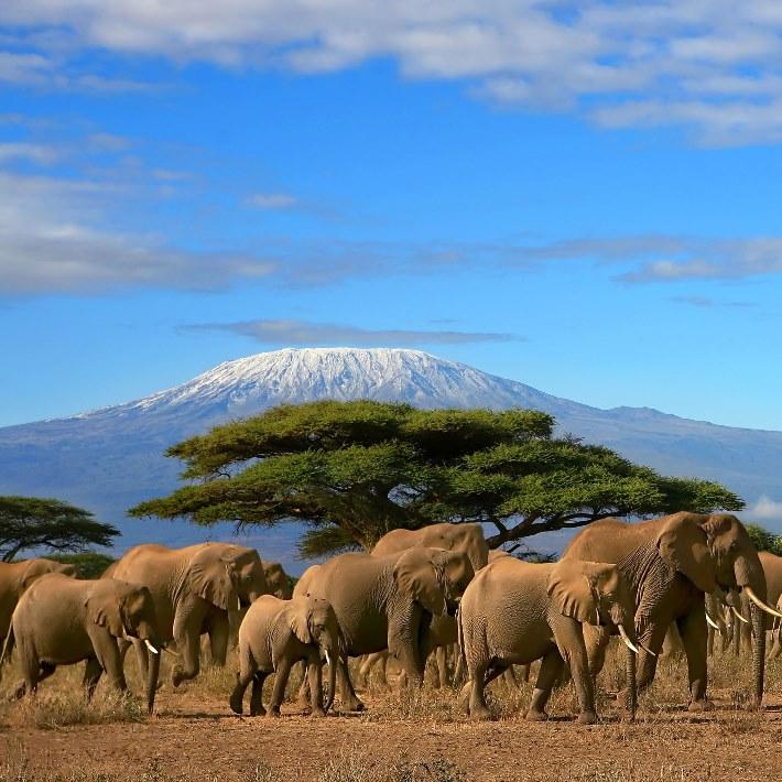 Слоны на фоне горы Килиманджаро. Африка. Фото