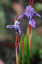 Kitulo NP flower 03 (paulshaffner).jpg