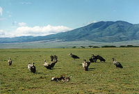Vultures and Marabou Stork in Serengeti.jpg