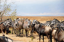 http://exotic-travel-club.ru/files/africa/tanzania_ngorongoro_zebra.jpg