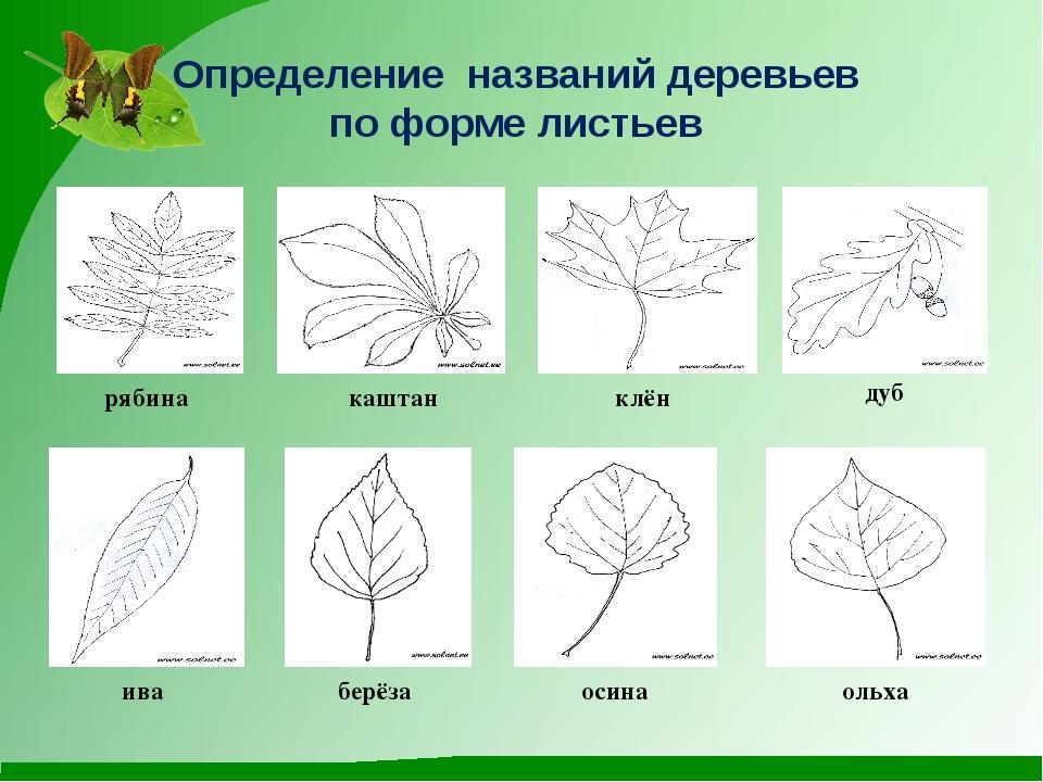 Определение названий деревьев по форме листьев рябина каштан клён дуб ива бер...