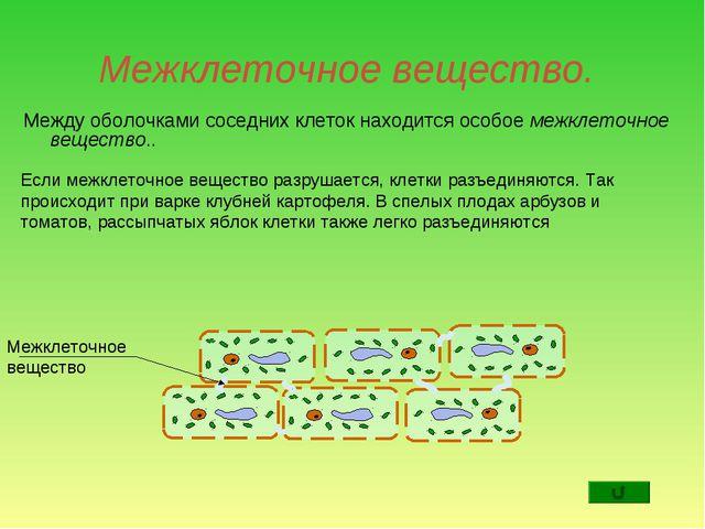 Межклеточное вещество. Между оболочками соседних клеток находится особое межк...