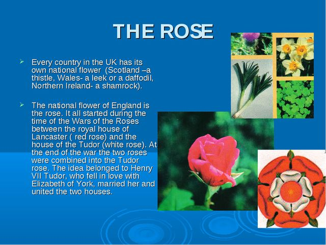 THE ROSE Every country in the UK has its own national flower (Scotland –a thi...