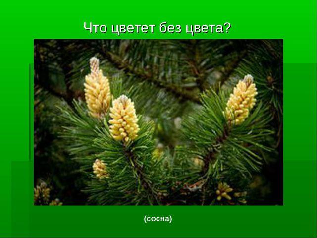 Что цветет без цвета? (сосна)