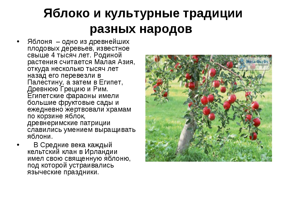 Яблоко и культурные традиции разных народов Яблоня – одно из древнейших плод...