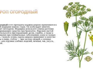 Укроп огородныйи его препараты издавна широко применяются в народной медици