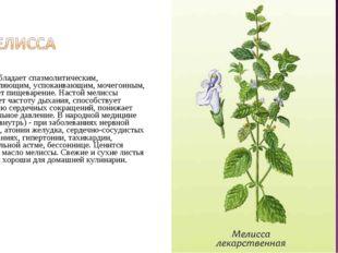 Растение обладает спазмолитическим, болеутоляющим, успокаивающим, мочегонным