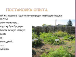Весной мы посеяли в подготовленные грядки следующие овощные культуры: Мелиссу