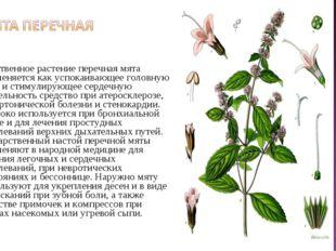 Лекарственное растение перечная мята применяется как успокаивающее головную