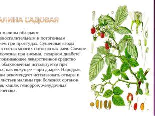 Плоды малины обладают противовоспалительным и потогонным действием при прост