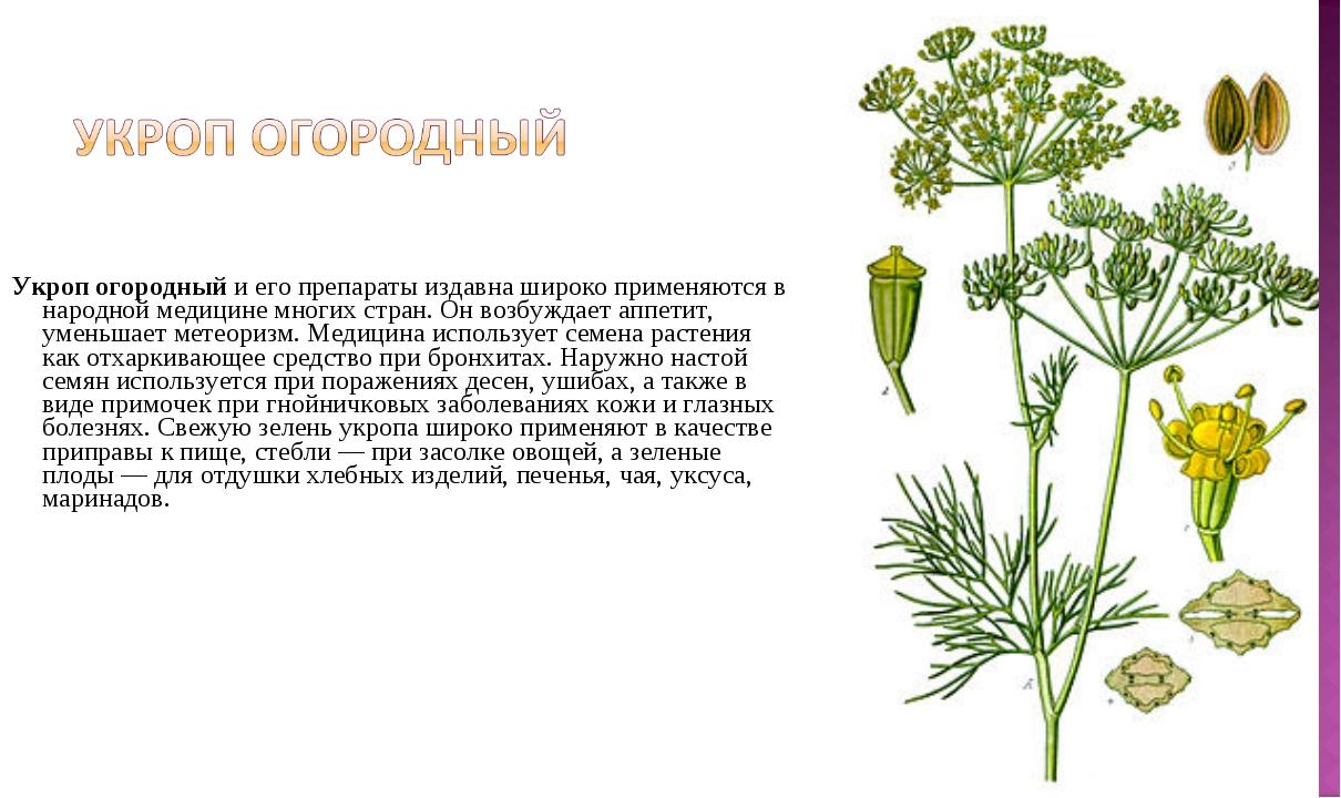 Укроп огородныйи его препараты издавна широко применяются в народной медици...