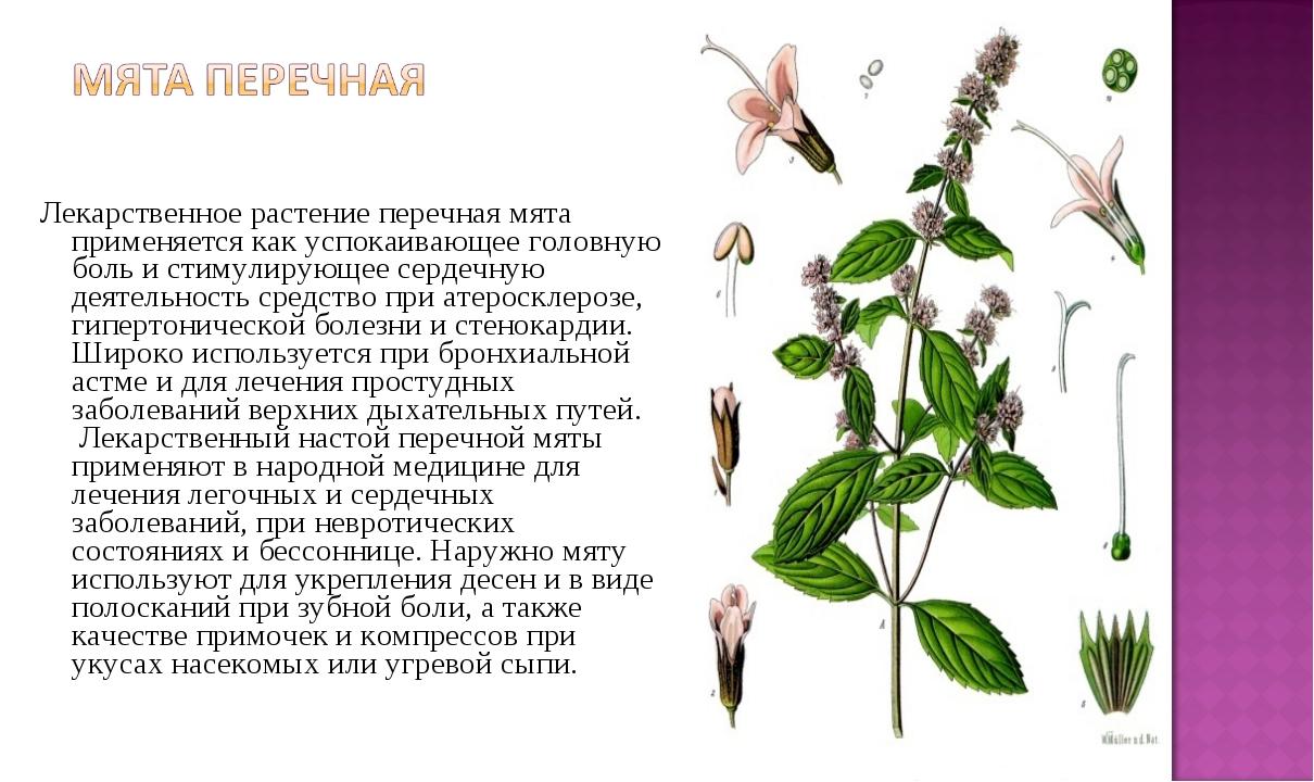 Лекарственное растение перечная мята применяется как успокаивающее головную...