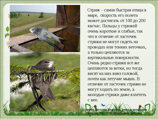 Стриж – самая быстрая птица в мире, скорость его полета может достигать от 1...