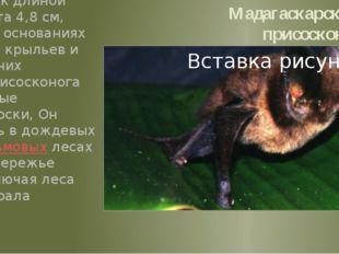 Мадагаскарский присосконог Небольшой зверёк длиной тела 5,7см, хвоста 4,8см