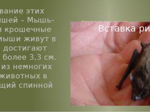 Свиноносая летучая мышь Второе название этих летучих мышей – Мышь-Шмель. Эти