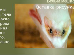 Белый мешкокрыл Размеры мелкие и средние. Длина тела 50—80 мм. Окраска волос