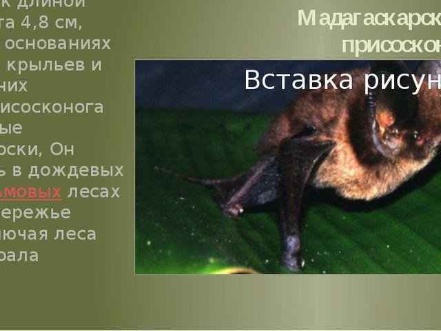 Мадагаскарский присосконог Небольшой зверёк длиной тела 5,7см, хвоста 4,8см...