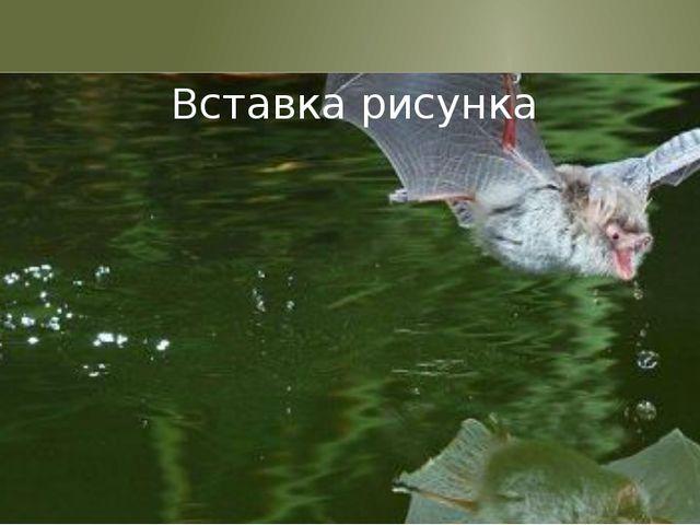 Является фантастичным и то, как рыбоядные летучие мыши могут хватать мелких...