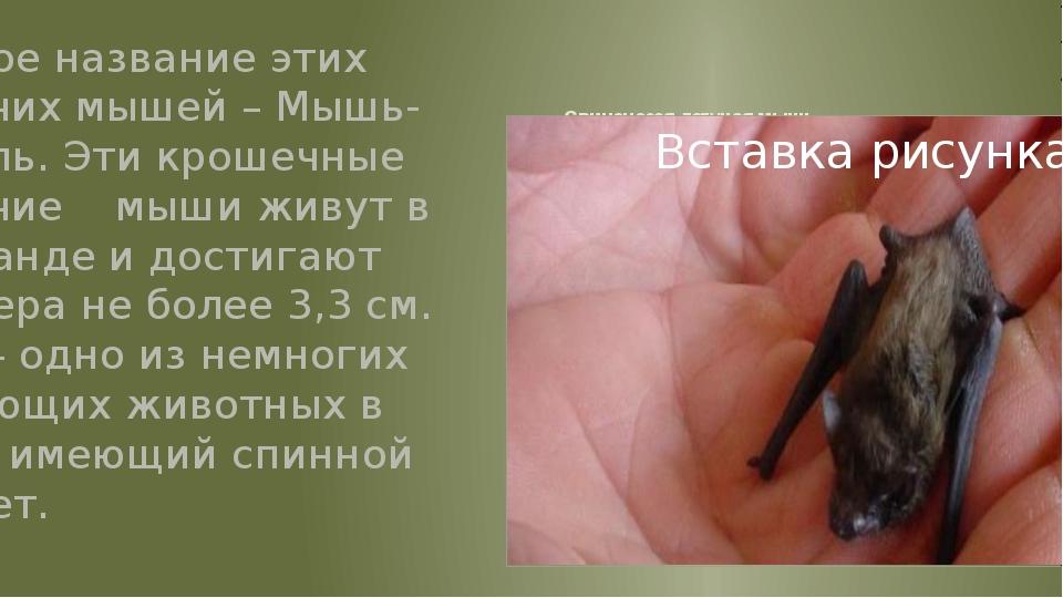 Свиноносая летучая мышь Второе название этих летучих мышей – Мышь-Шмель. Эти...