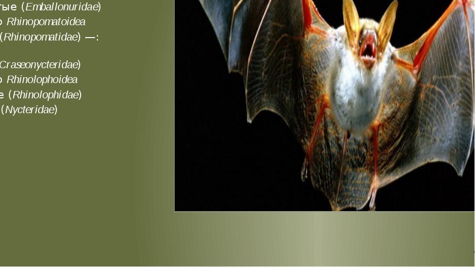 Подотряд крыланы (летучие собаки или летучие лисицы) Megachiroptera Pteropod...