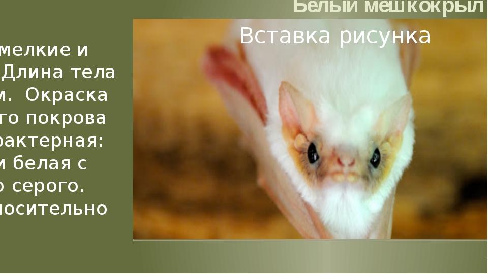 Белый мешкокрыл Размеры мелкие и средние. Длина тела 50—80 мм. Окраска волос...