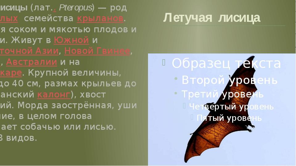 Летучая лисица Летучие лисицы (лат..Pteropus) — род рукокрылых семейства кры...