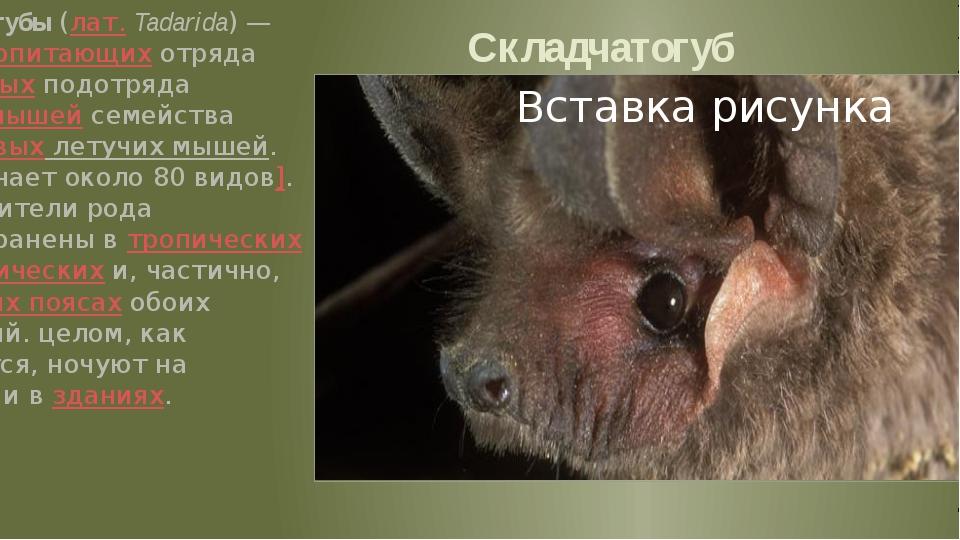 Складчатогуб Складчатогубы (лат.Tadarida) — род млекопитающих отряда рукокры...