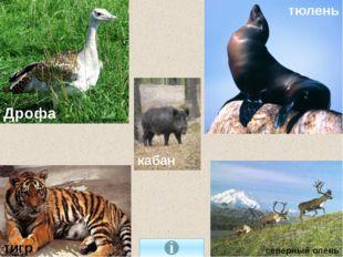 северный олень тигр тюлень Дрофа кабан