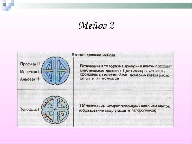 Мейоз 2