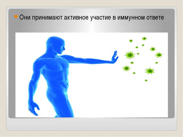 Они принимают активное участие в иммунном ответе
