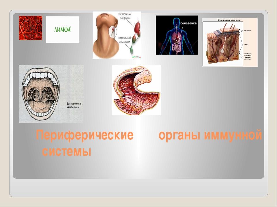 Периферические органы иммунной системы