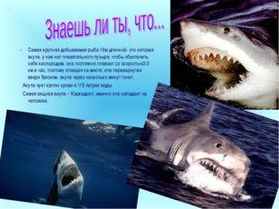 Самая крупная добываемая рыба-18м длинной- это китовая акула, у нее нет плава
