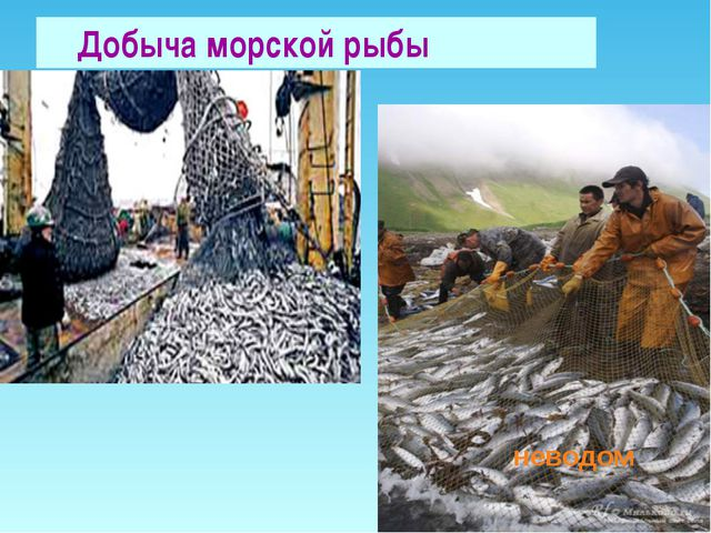 Добыча морской рыбы неводом