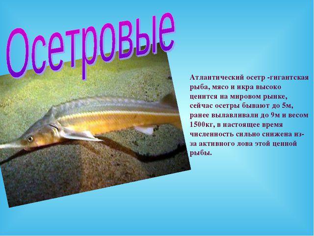 Атлантический осетр -гигантская рыба, мясо и икра высоко ценится на мировом р...