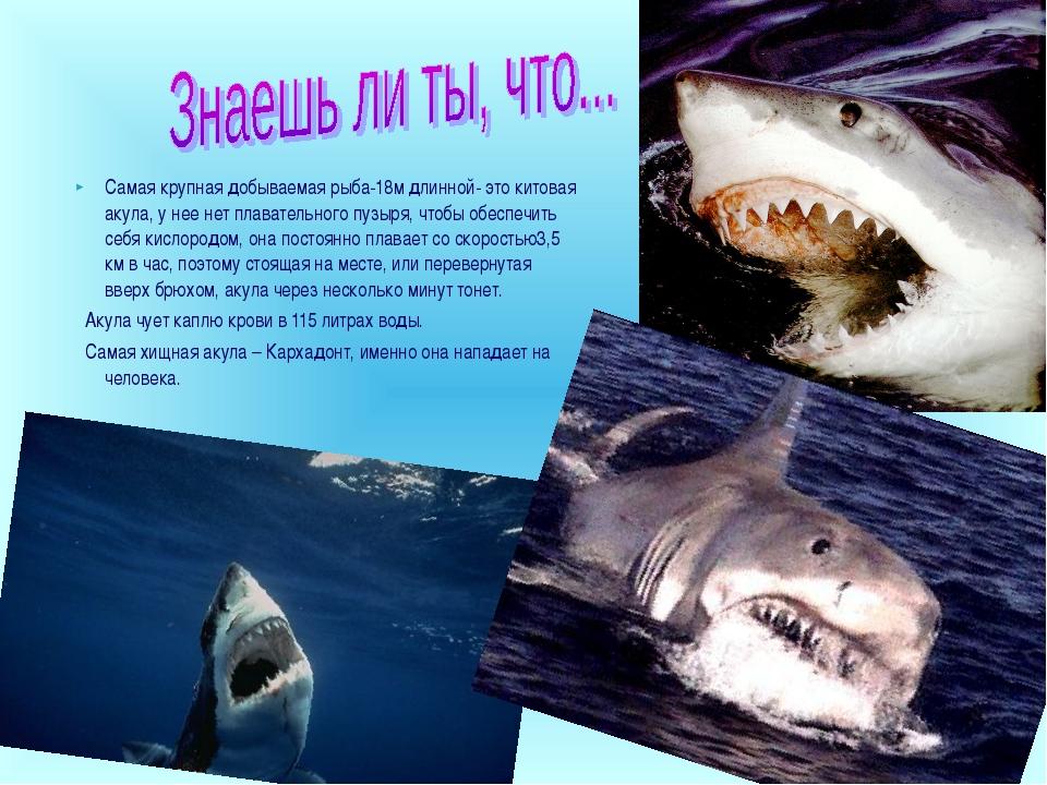 Самая крупная добываемая рыба-18м длинной- это китовая акула, у нее нет плава...