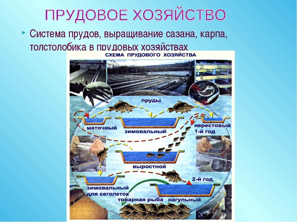 Система прудов, выращивание сазана, карпа, толстолобика в прудовых хозяйствах